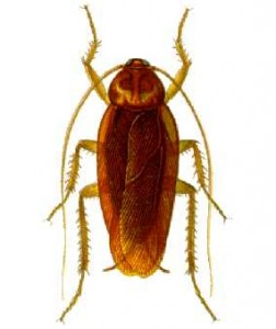 Cockroach Exterminator Raleigh, Cockroach Exterminator Durham, Cockroach Exterminator Chapel Hill